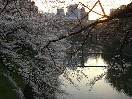 皇居・千鳥が淵の桜